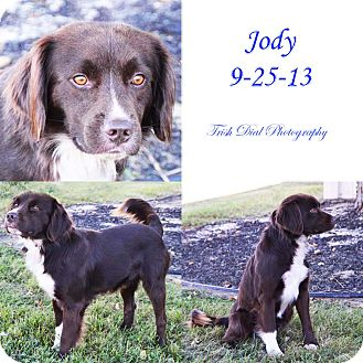 Cocker Spaniel/Pointer Mix Dog for adoption in Union City, Tennessee - Jody