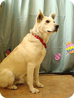 Labrador Retriever/Shepherd (Unknown Type) Mix Dog for adoption in Youngwood, Pennsylvania - Parker