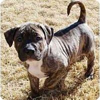 Adopt A Pet :: Reed - Gilbert, AZ