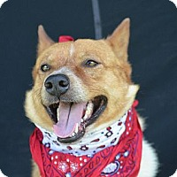 Adopt A Pet :: Red - Plano, TX