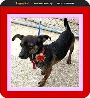 Chihuahua/Dachshund Mix Dog for adoption in West Los Angeles, California - Rosie