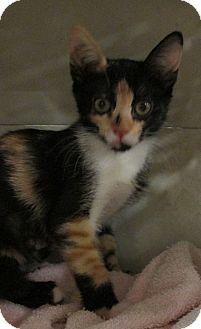 Domestic Shorthair Kitten for adoption in Pueblo West, Colorado - Yavon