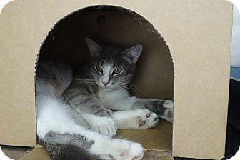Domestic Shorthair Cat for adoption in Elyria, Ohio - Blaine