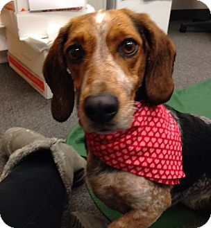 Basset Hound/Beagle Mix Dog for adoption in Cleveland, Ohio - Scarlet