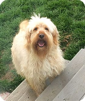 Wheaten Terrier Mix Dog for adoption in Baltimore, Maryland - Ted