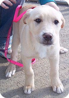 Golden Retriever Mix Puppy for adoption in Greenville, Kentucky - Millie