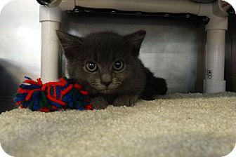 Domestic Shorthair Kitten for adoption in Elyria, Ohio - Lanai