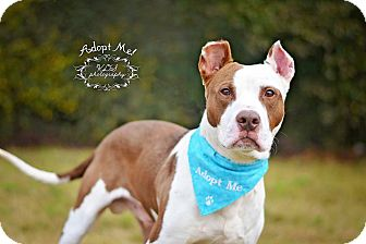 Pit Bull Terrier Dog for adoption in Fort Valley, Georgia - Jimmy