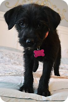 Labrador Retriever/Standard Schnauzer Mix Puppy for adoption in Southington, Connecticut - Paislee