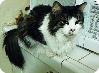 Domestic Longhair Cat for adoption in Toledo, Ohio - Oreo
