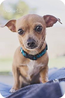 Chihuahua Mix Dog for adoption in Las Vegas, Nevada - Squirrel