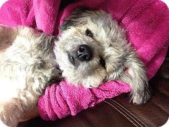Schnauzer (Miniature) Mix Dog for adoption in Oviedo, Florida - Angel