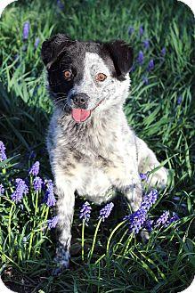 Blue Heeler Mix Dog for adoption in Westminster, Colorado - Bailey