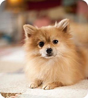 Pomeranian Dog for adoption in Dallas, Texas - Aaron