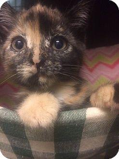Domestic Shorthair Kitten for adoption in East Brunswick, New Jersey - Savi