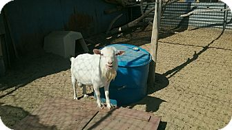 Goat for adoption in Palmdale, California - Thor