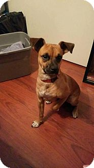 Boxer/Terrier (Unknown Type, Medium) Mix Puppy for adoption in Cape Coral, Florida - Tank