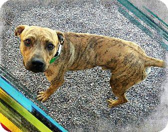 Boxer Mix Dog for adoption in Apache Junction, Arizona - Tundra