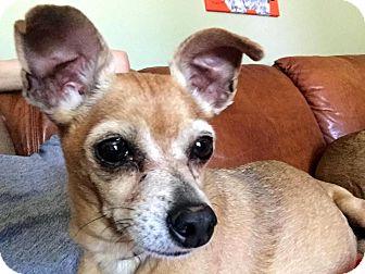 Chihuahua Mix Dog for adoption in Salt Lake City, Utah - Tom