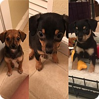 Adopt A Pet :: Kylie - San Francisco, CA