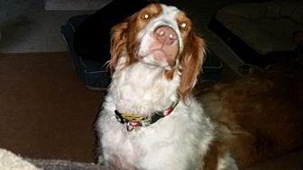 Brittany Dog for adoption in St. Louis, Missouri - TX/Bandit