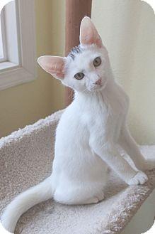 Domestic Shorthair Kitten for adoption in El Cajon, California - Winchester
