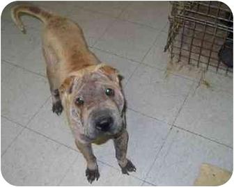 Shar Pei Dog for adoption in Houston, Texas - Abu
