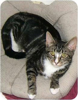 American Shorthair Kitten for adoption in New York, New York - Tabitha the lovingTabby!