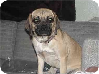 Pug/Beagle Mix Dog for adoption in Astoria, New York - Rosa