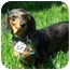 Photo 2 - Dachshund Dog for adoption in Joliet, Illinois - Rolla