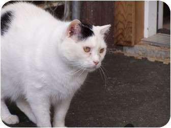Domestic Shorthair Cat for adoption in Quilcene, Washington - Chevron