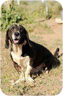 Labrador Retriever/Basset Hound Mix Dog for adoption in Acton, California - Otto