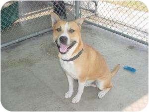 Akita/Labrador Retriever Mix Dog for adoption in Warren, Michigan - Albert - URGENT !!!