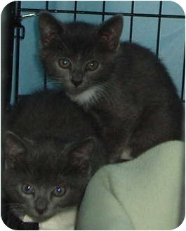 Domestic Shorthair Kitten for adoption in Westfield, Massachusetts - 2 Gray and White kittens