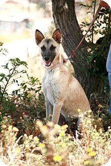 Belgian Malinois Mix Dog for adoption in El Cajon, California - EVA