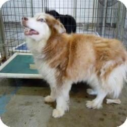 Husky/Australian Shepherd Mix Dog for adoption in Tipton, Iowa - Katie