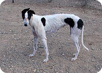 Greyhound Dog for adoption in Cottonwood, Arizona - Patty