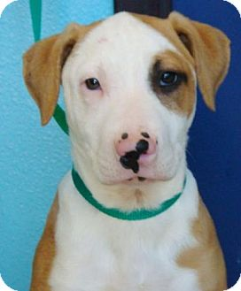 American Pit Bull Terrier Mix Dog for adoption in Red Bluff, California - Nelly