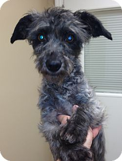 Terrier (Unknown Type, Small)/Poodle (Miniature) Mix Dog for adoption in Homewood, Alabama - Sissy