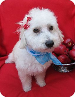 Bichon Frise/Terrier (Unknown Type, Small) Mix Dog for adoption in Irvine, California - Honey Crisp