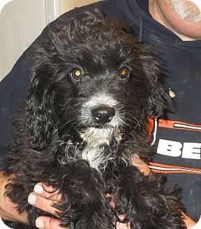 Cavalier King Charles Spaniel/Poodle (Miniature) Mix Puppy for adoption in Allentown, Pennsylvania - Beaumont