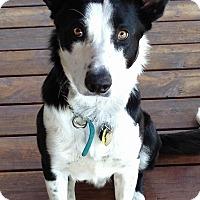 Adopt A Pet :: Trace - Denver, CO