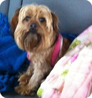 Yorkie, Yorkshire Terrier Dog for adoption in Wichita, Kansas - Libby