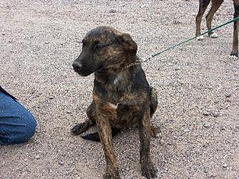 Hound (Unknown Type) Dog for adoption in Golden Valley, Arizona - Talon