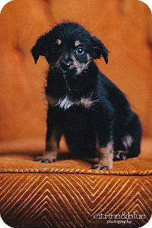 Dachshund/Fox Terrier (Wirehaired) Mix Puppy for adoption in Portland, Oregon - The Professor