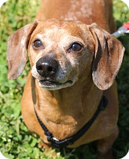 Dachshund Mix Dog for adoption in Grants Pass, Oregon - Willy Mays