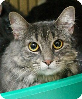 Domestic Mediumhair Cat for adoption in Medford, Massachusetts - Ripley