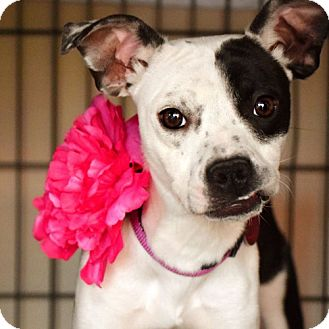 Whippet Mix Dog for adoption in Las Vegas, Nevada - Jenny