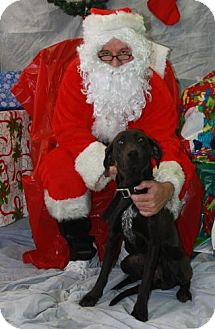 Labrador Retriever/Pointer Mix Dog for adoption in Newburgh, Indiana - Babs
