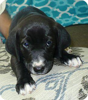 Labrador Retriever/Hound (Unknown Type) Mix Puppy for adoption in Eastpoint, Florida - Gwendelyn